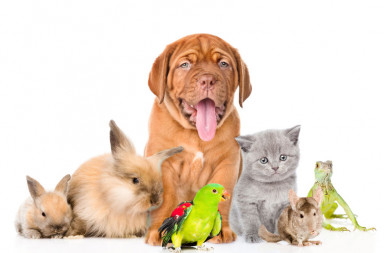 41757008 - group of pets together in front view. isolated on white background.